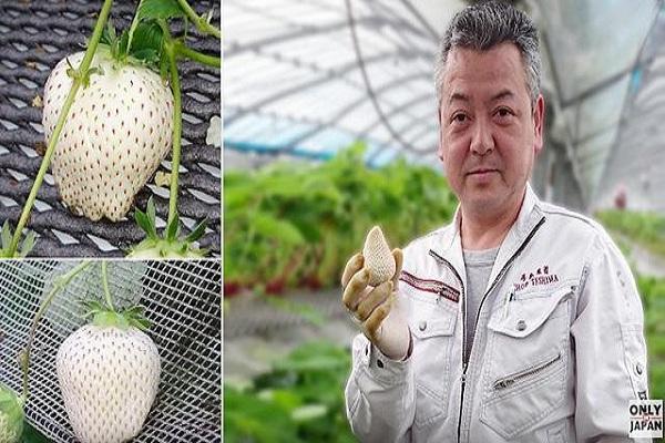 """Ông Teshima và những trái dâu tây trắng """"độc nhất vô nhị"""" trên thế giới"""