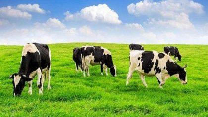 Nằm mơ thấy bò - Mộng thấy bò đánh con gì chắc ăn nhất